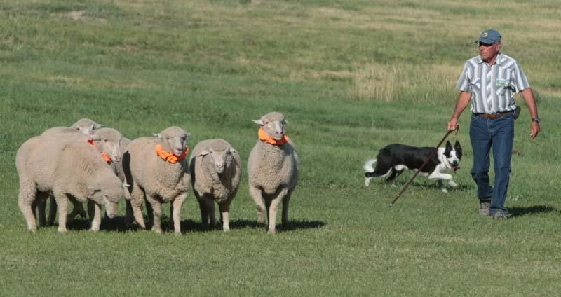 The dogs must take groups of sheep through a set of challenging courses in 13 minutes.