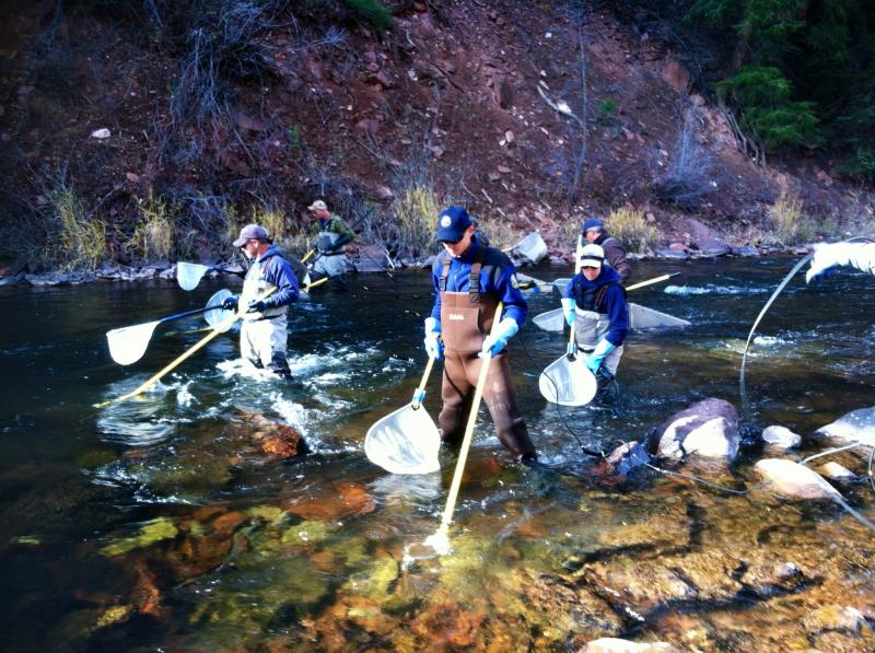 "Colorado Parks and Wildlife staff and volunteers ""shock"" fish every other year on the Fryingpan. The electrical current attracts the fish so the group can catch and count them."