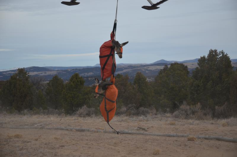 Live mule deer captured with net-gunning.