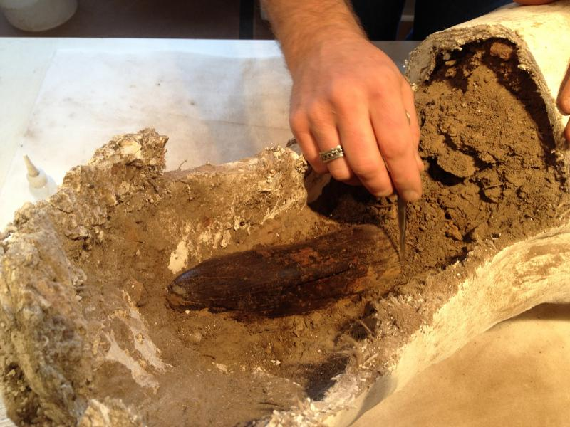 "The tusk was excavated with the surrounding dirt, then ""jacketed"" with canvas and plaster."
