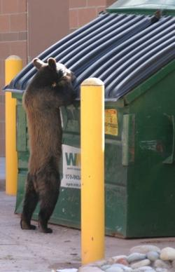 A bear peers into a dumpster in Glenwood Springs.