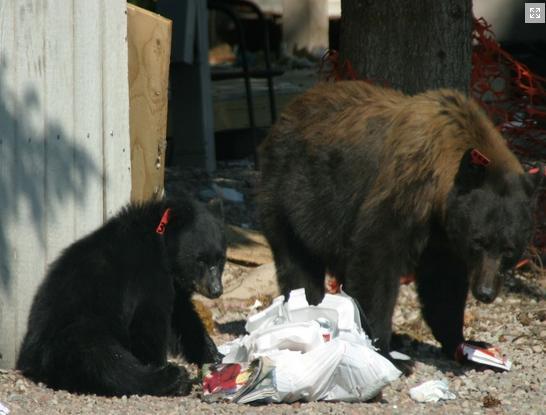 Bears and a trash bag in Glenwood Springs.