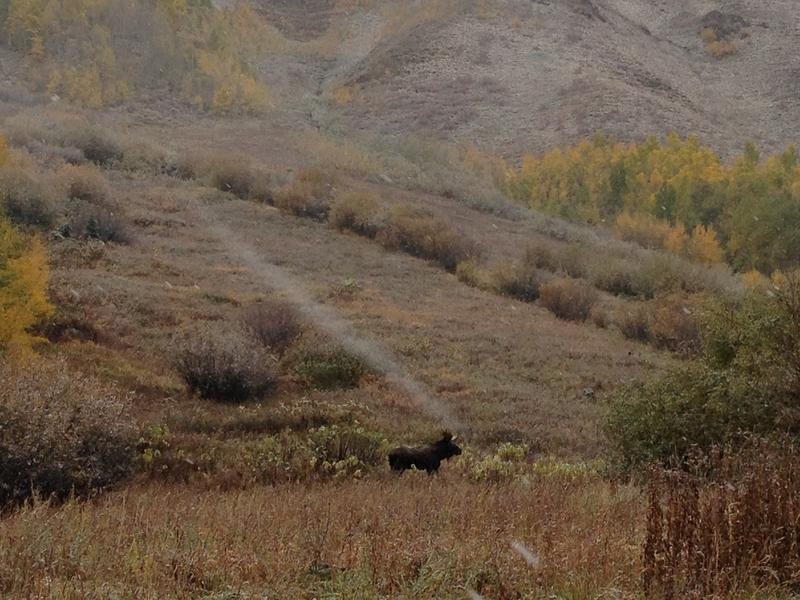 A moose wanders through the meadow near Maroon Lake.