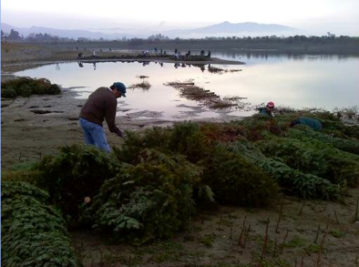 Volunteers anchor unsold Christmas trees to chains at the edge of Quarry Lake in Fremont.