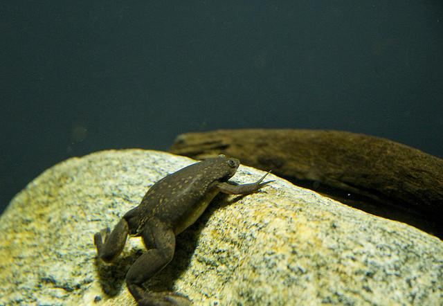 Xenopus, or the African clawed frog, can be found in San Francisco's Golden Gate Park.