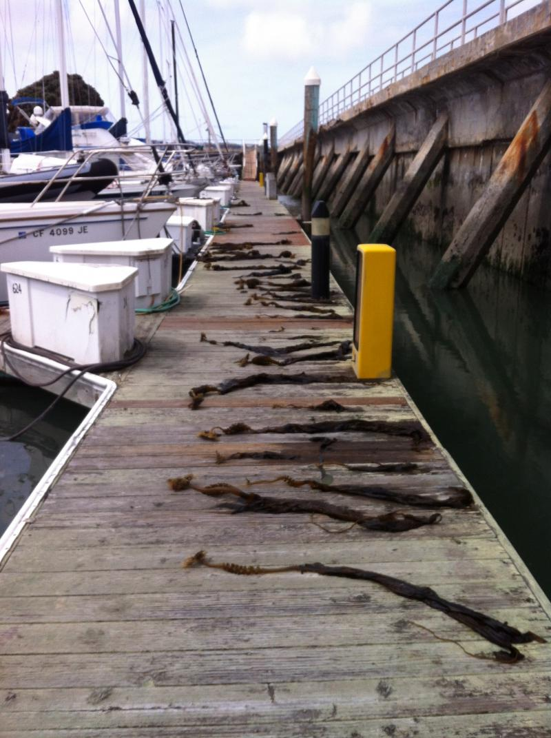Undaria laid out across the dock at the San Francisco Marina.