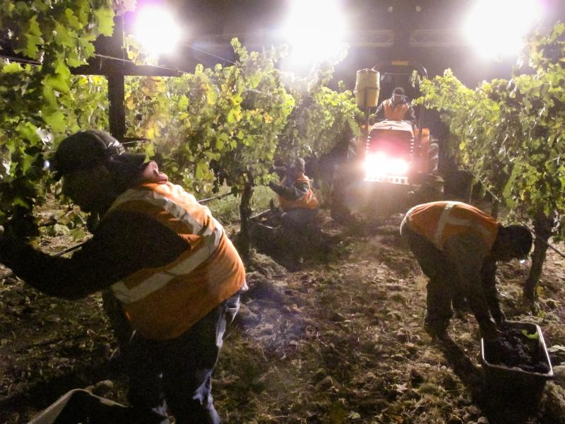 Field workers harvesting cabernet grapes in Napa Valley.