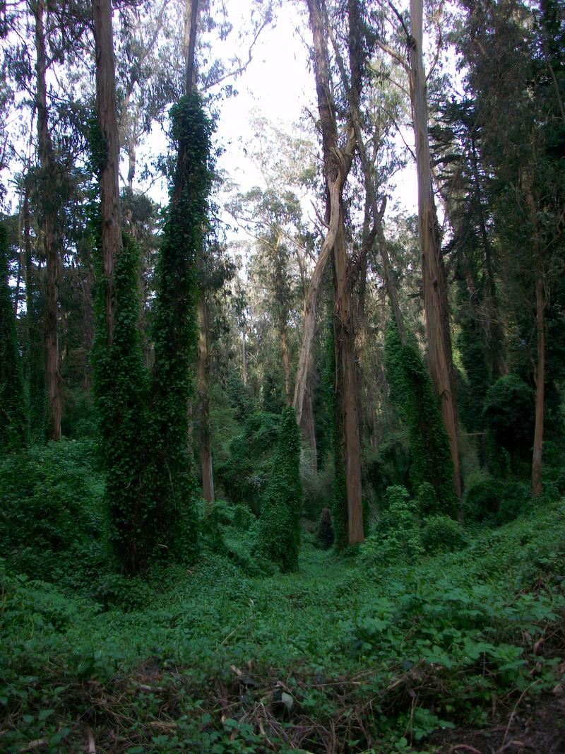 Mt. Sutro's eucalyptus forest