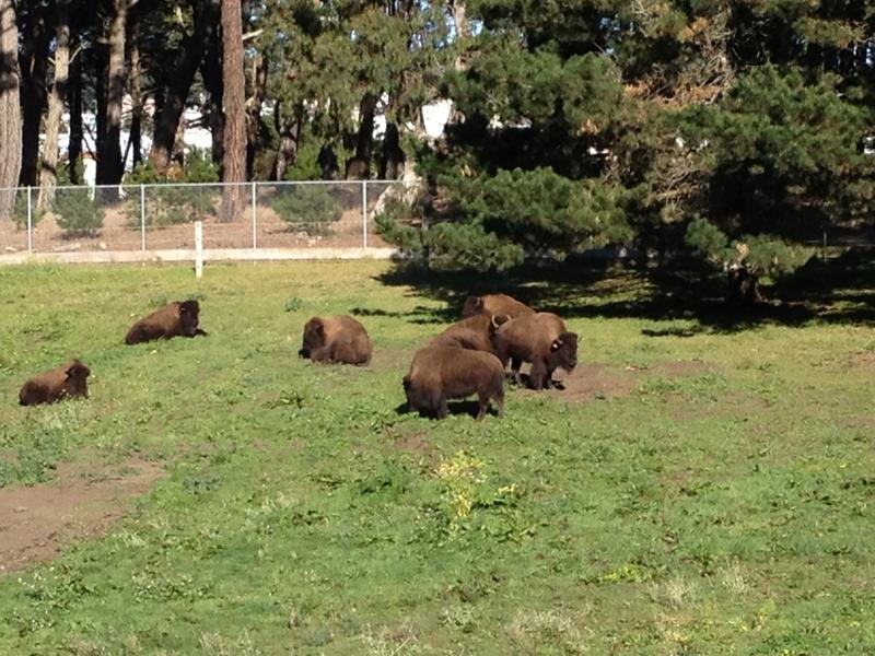 The bison of Golden Gate Park.