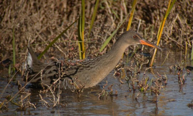 A California Clapper Rail at Arrowhead Marsh, MLK Regional Shoreline, Oakland, CA.