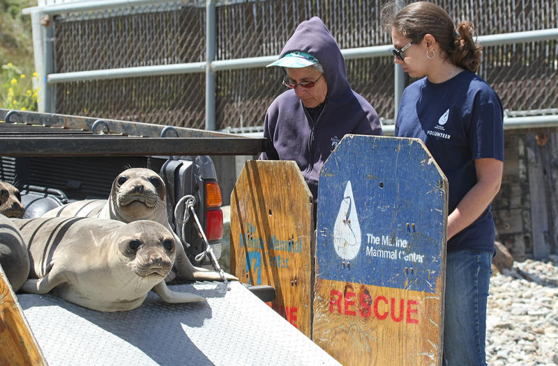 Northern elephant seal weaners return to the wild after rehabilitation at The Marine Mammal Center