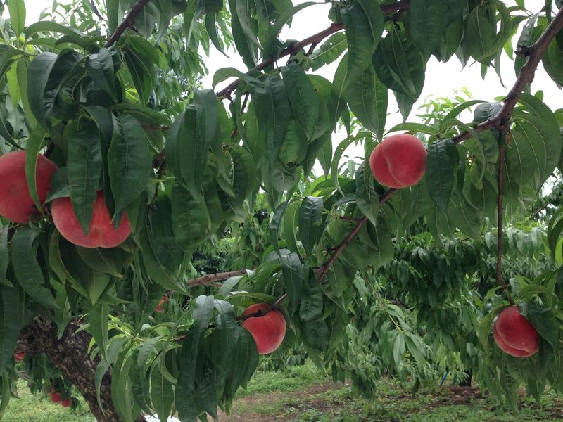 Michinoku peach orchard, Fukushima City