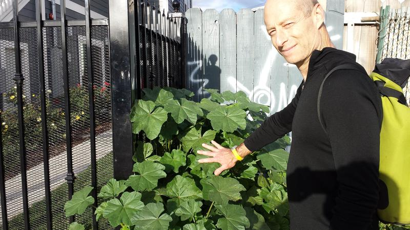 Philip Stark looks at mallow growing in West Oakland with leaves as big as his hand