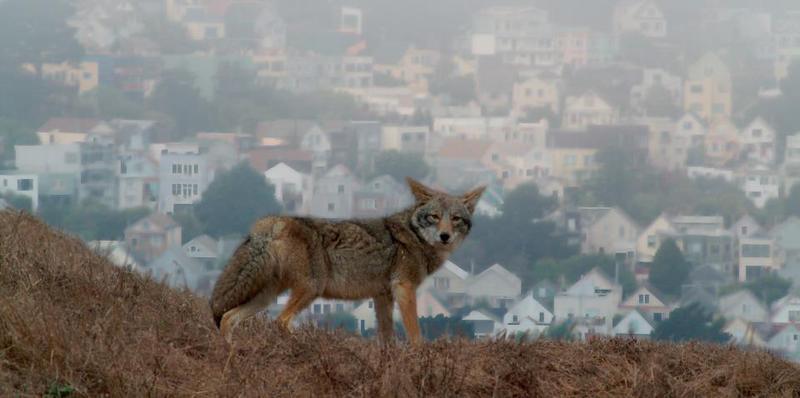 Coyote in San Francisco