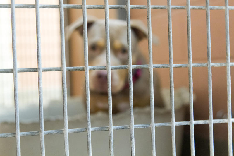 Pit bulls are the most common dogs in shelters. This pit bull type dog is living at Oakland Animal Services.