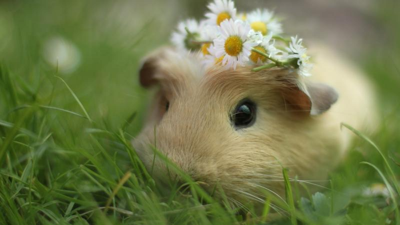 """The Marin Humane Society hosts the 2015 """"Pignic"""" this Saturday in Novato."""