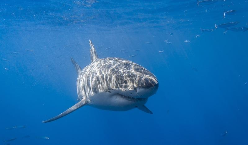 A white shark (commonly referred to as a great white shark)