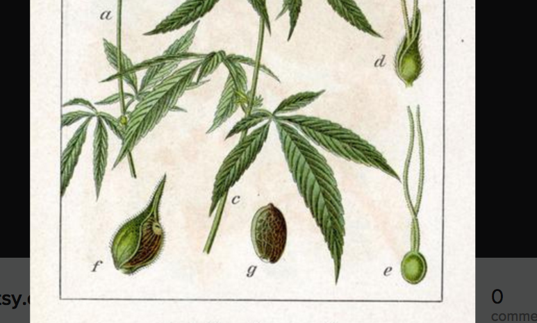 Poster (cropped) from the 1800s: Cannabis sativa