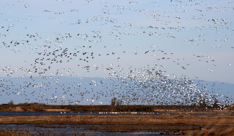 Get a front row seat to migratory bird flights this weekend on Mare Island.