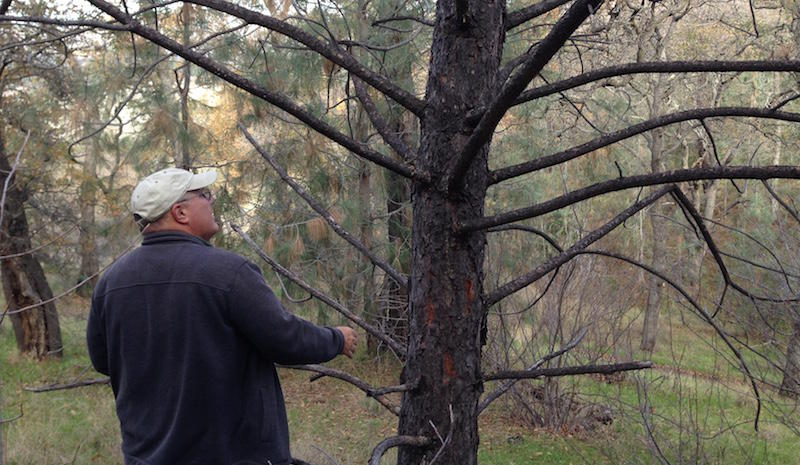 Tom Smith inspects a Coulter pine for bark beetles.