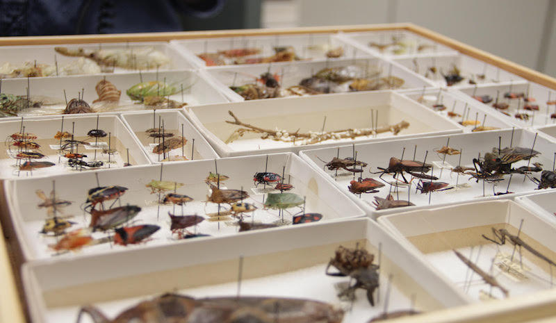 Various beetles are delicately pinned in white cardboard boxes.