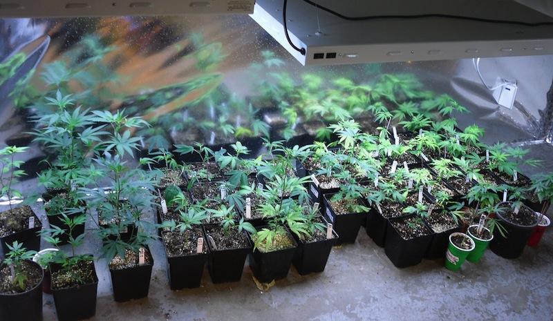 A nursery for medical marijuana