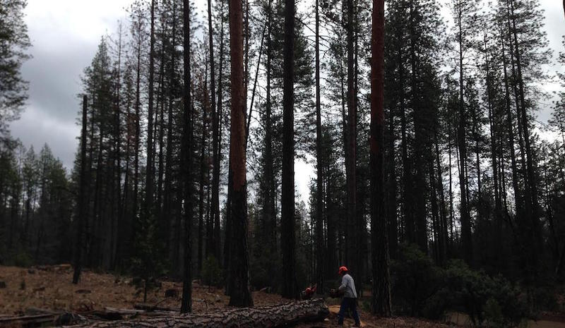 dead trees are fueling california wildfires but what s killing the