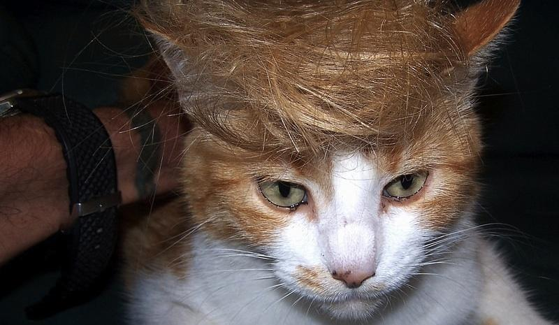 Ginger Trump the shop cat by flickr user Manuel (CC BY 2.0)