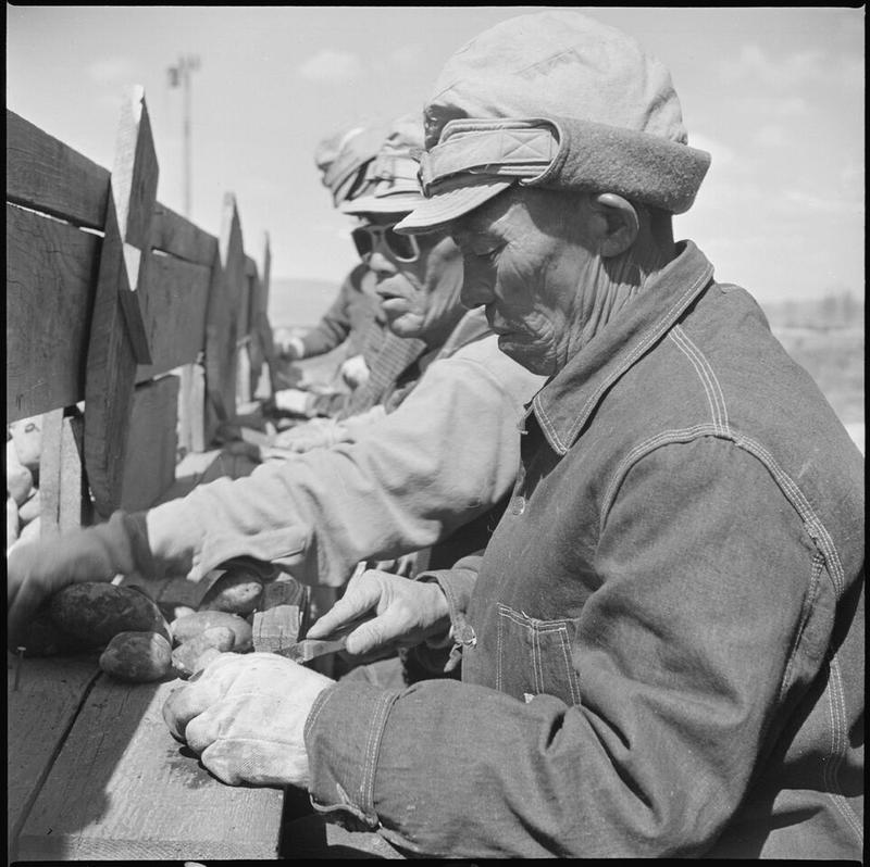 "Seed potato cutting at the cutting sheds of the Tule Lake farm. The original War Relocation Authority caption for this May, 1943 image read, ""7,500 sacks of potatoes will be cut by 48 workers in 2-1/2 weeks..."""