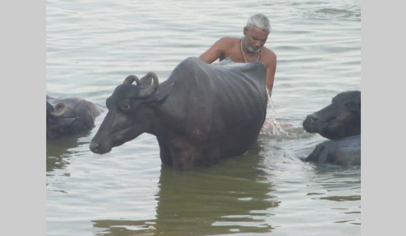 A water buffalo gets a bath