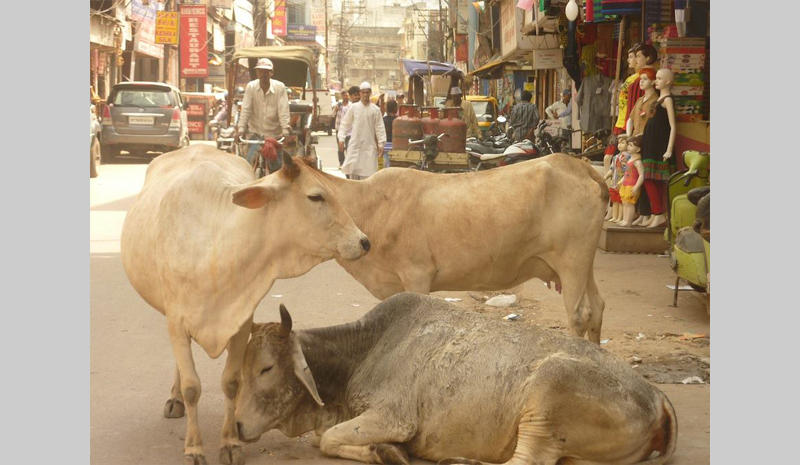 Stray cows on the streets of India