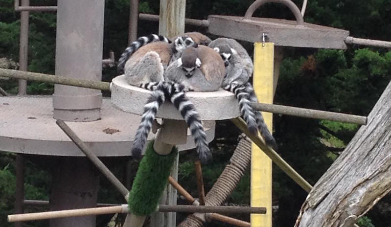 Lemurs at the San Francisco Zoo
