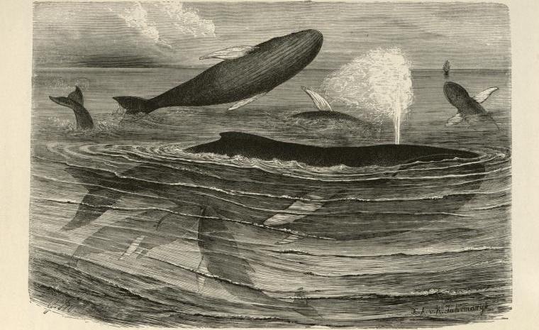 """Humpback Whales Disporting."" 1800 - 1899."