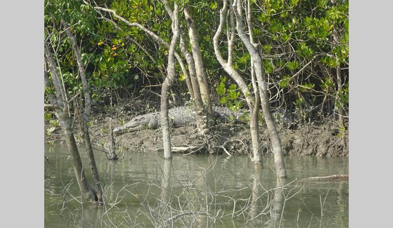 A crocodile in the Sundarbans