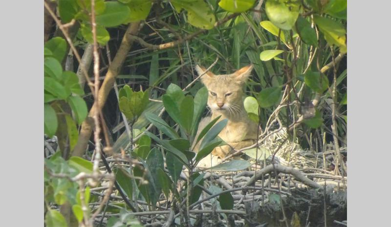 A jungle cat in the Sundarbans