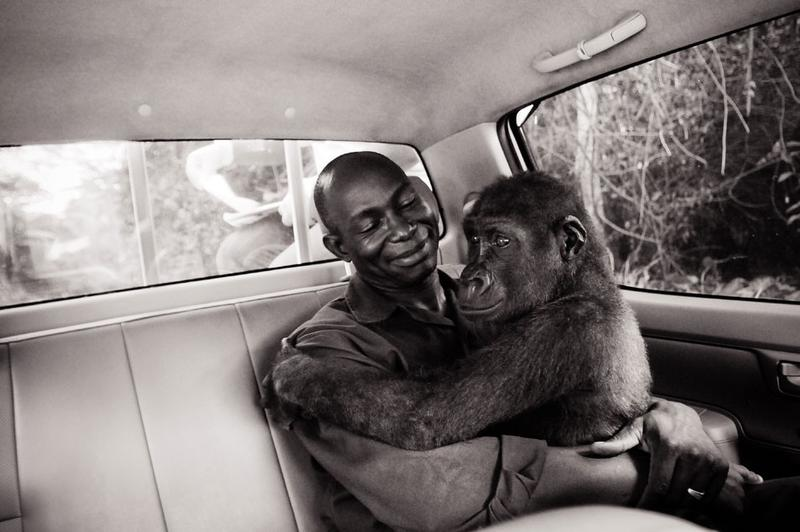 Appolinaire Ndohoudou and Pikin, Ape Action Africa, Cameroon, 2009. Many baby apes are orphaned when their mothers are killed for bushmeat. Pikin, a juvenile gorilla, was rescued and is cared for by Ape Action Africa