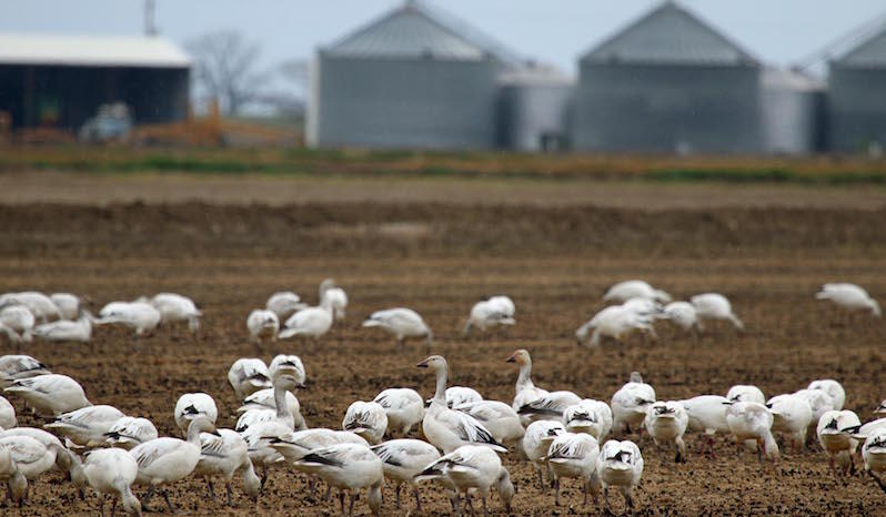 Snow geese feed in a rice field