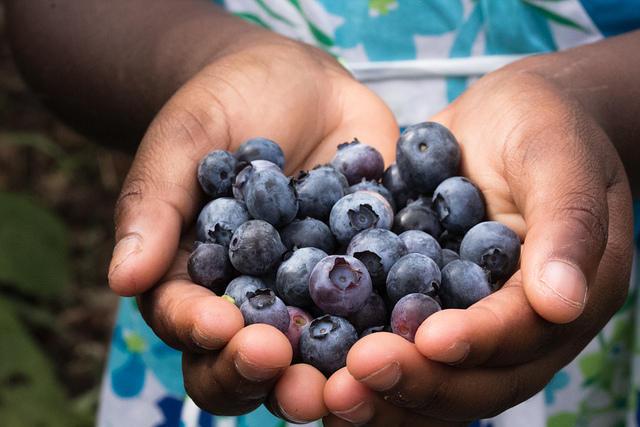 Girl Holding Blueberries Block Orchards Blueberry Picking July 21, 2012, taken by flickr user Steven Depolo
