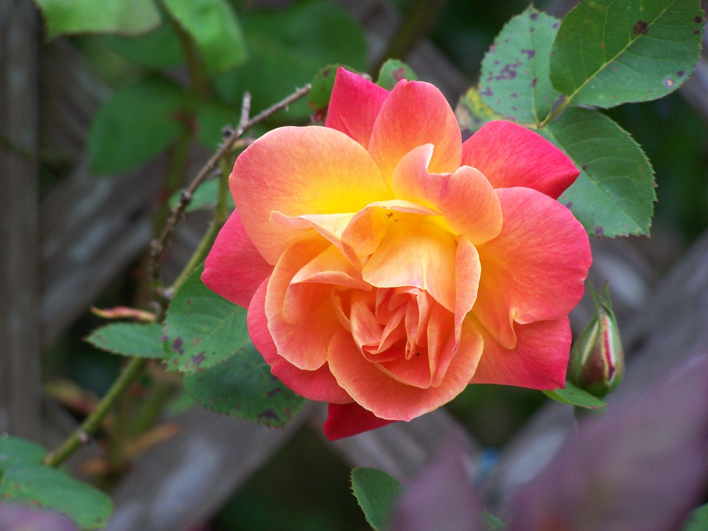 nosing around the roses in golden gate park kalw. Black Bedroom Furniture Sets. Home Design Ideas