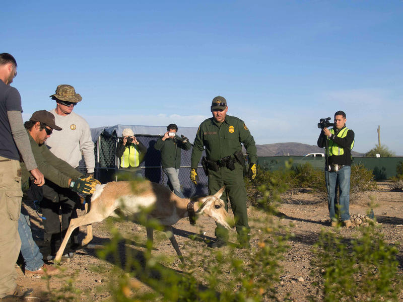 The Sonoran pronghorn recovery team catches a doe to release from the breeding pen at Cabeza Prieta. Sonoran pronghorn belong to a different subspecies than the more commonly seen pronghorn in the northern part of the state and the Great Plains.