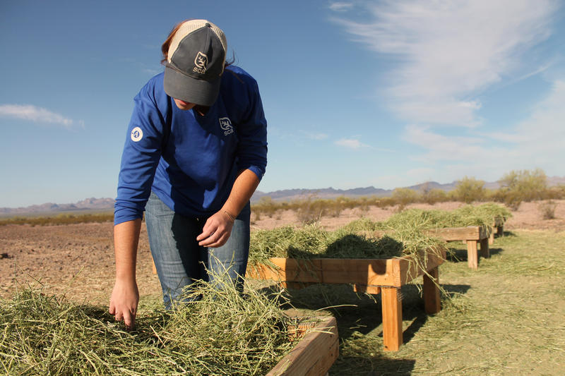 Lydia Morton, an intern with the U.S. Fish and Wildlife Service, checks the feeders set out for the Sonoran pronghorn at Kofa National Wildlife Refuge, near Yuma, Arizona.