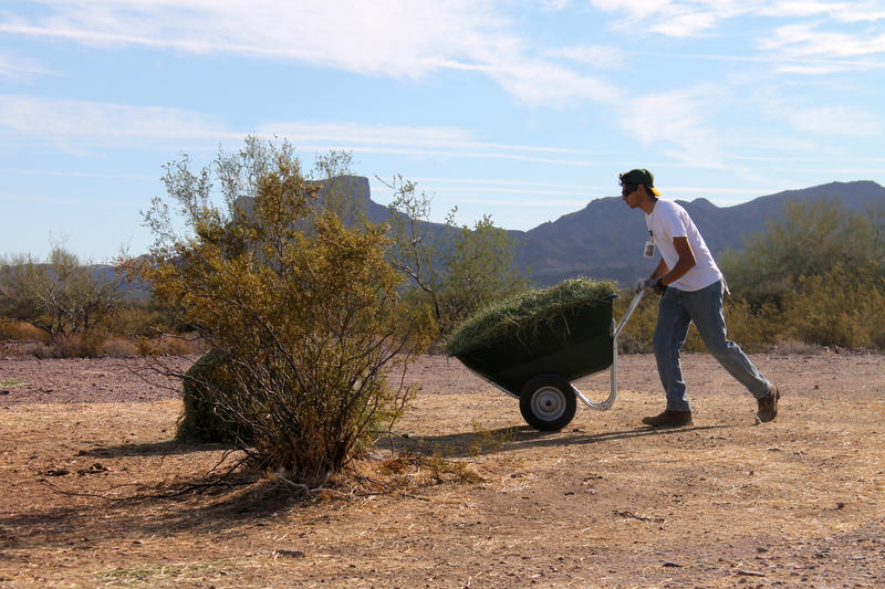 Javier Gonzalez, an intern with Arizona Game and Fish, wheels alfalfa to the Sonoran pronghorn feeding stations.