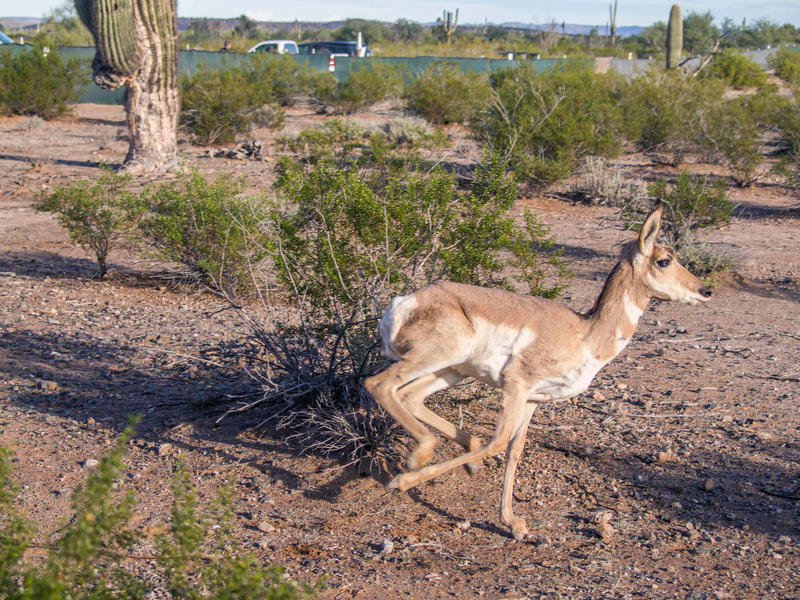 A female Sonoran pronghorn runs in a pen at Cabeza Prieta National Wildlife Refuge near Ajo, Arizona. Pronghorn are considered the fastest land mammal in North America and have been clocked at speeds up to 54 miles per hour.