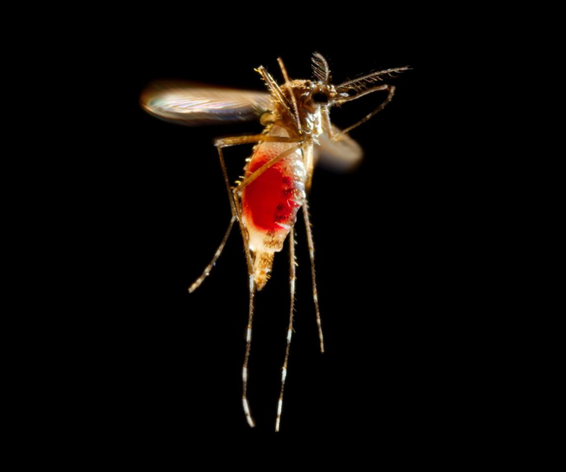 Aedes Aegypti, mosquito that can carry the Zika virus