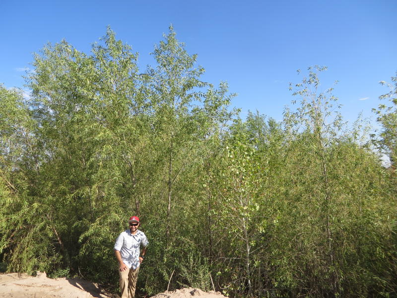 Naturally-germinated Willow trees in cleared restoration site, pictured with Hector Zamora, graduate student at University of Arizona; 2016