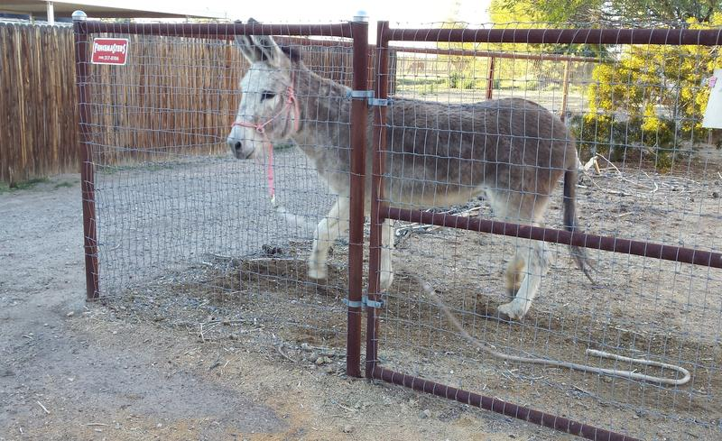 Adopted wild burro Sonny runs back and forth along the gate looking for a way out