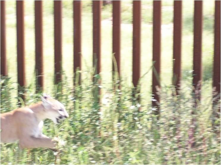 Mountain lion blocked by border fence