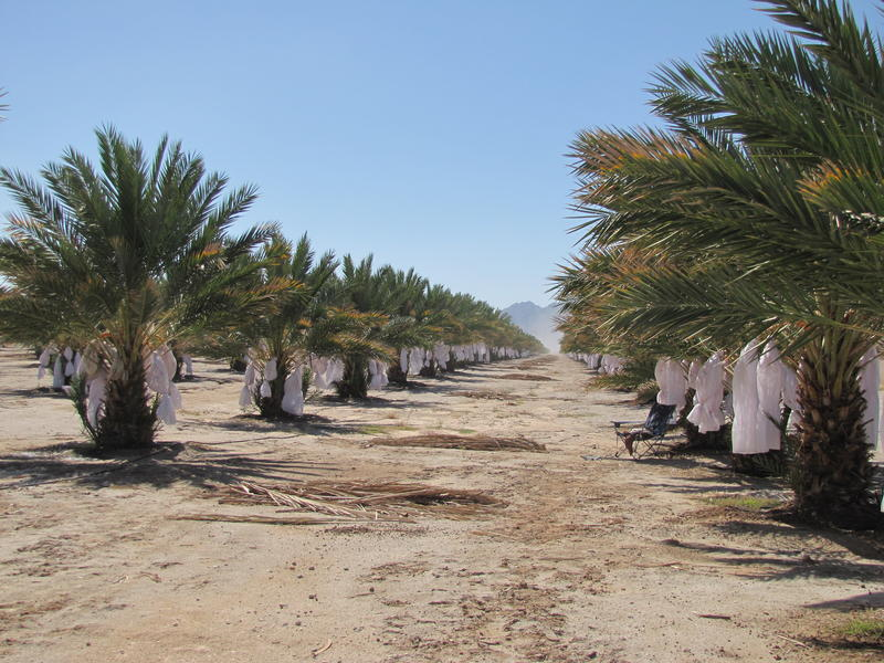 Rows of Medjool date palms stretch out across Limmeroth and Mastin's farm