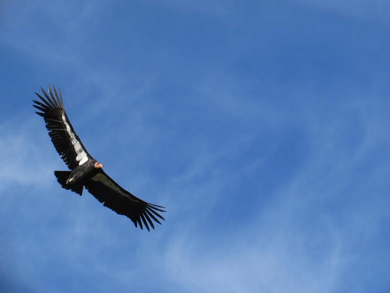 California condor, #480, soars on his 9 and a half foot wingspan in the skis above Bitter Creek National Wildlife Refuge