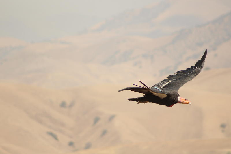 California Condor #328 soars over the canyon at Bitter Creek National Wildlife Refuge